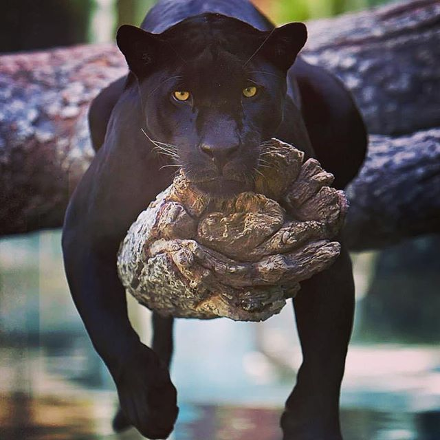 Friday mood... this jaguar captures how I feel after practicing and teaching Yoga this morning. Cats got the greatest vibes! Enjoy being true to yourself and do what makes you purrrrrrr... Namaste cool insta cats...#yogajourneyswithulrika #mood #tgif #yogalife #yogainspiration #yogafun #yogalove #yogalifestyle #yogapractice #iloveyoga #instayoga #jaguar #relax #yogaretreat #yogajourney #yogaeverywhere #yogini #namaste