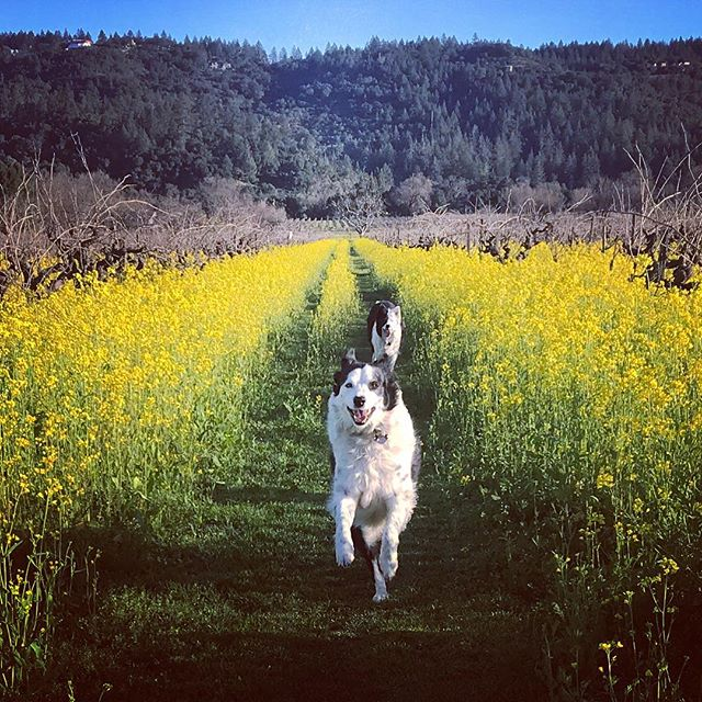 Good morning ️ Running with these loves in the vineyards and had Sun Salutes for breakfast, now packing for the Yoga Journey to Colombia... My tail is wagging!...#yogajourneyswithulrika #sunsalutation #mood #yogainspiration #dogsofinstagram #dogyoga #mustard #run #yogalife #yogalove #yogalover #lovelovelove #saturdaymorning #inspired #packing #readyfortakeoff #happy #napavalley #yogajourney #retreat #yogaretreat #yogateacher #sunshine #yellow #smile #now #aum