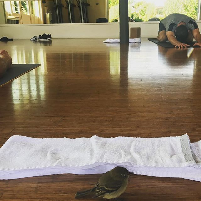 This brave little bird joined our yoga class @solage during morning practice. It flew in through the wide open doors, hit the head on the ceiling and stayed for the class. During meditation at the end of class it took flight and flew back out again. Keep soaring little yogi! You know how to crash, rest, reboot and get back up again. ️......#yogajourneyswithulrika #yogaclass #yogapractice #bird #yogalove #yogalover #yogateacher #yogalife #yogalifestyle #fly #yogi #yoga #yogisofinstagram #yogaeverywhere #yogadaily #yogainspiration #yogafun #getbackup #reboot #yogini #namaste #instayoga #yogagram #yogaflow #yogatime #yogaforlife #yogacommunity #yogafamily #yogamama